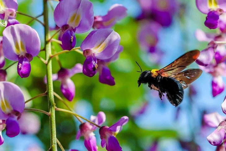Blauregen Blüten mit Biene