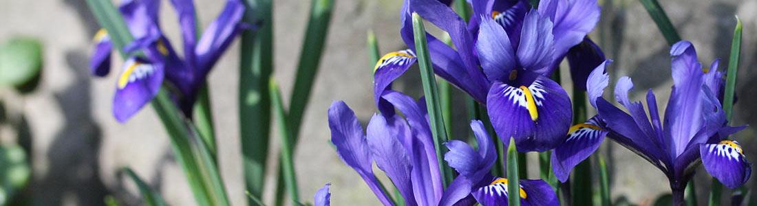 Zwerg-Iris