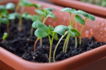 Junge Pflanzen einige Zeit nach dem Aussäen