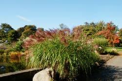 Chinaschilf im Herbst