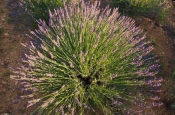Lavendel-Pflanze bricht in der Mitte auseinander