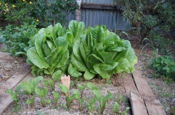 Gemüsebeete durch Holzbretter voneinander getrennt