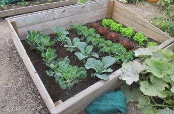 Verschiedene Salate und Kohlarten in einem Beet