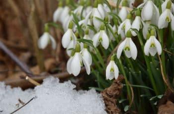 Winterblüher im Schnee