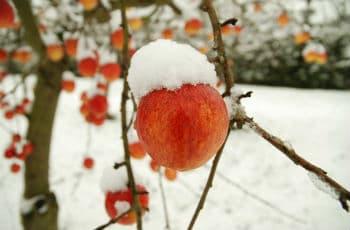 Am Apfelbaum verbliebene Äpfel im Schnee