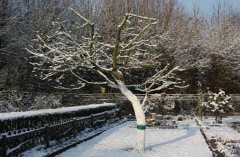 Obstbaum mit Weißanstricht am Stamm