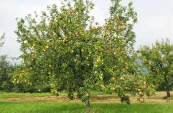 Großer, alter Apfelbaum