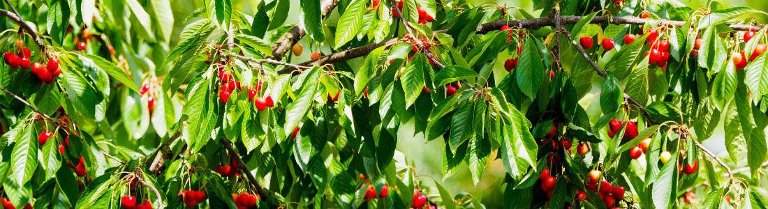 Kirschbaum voller Kirschen