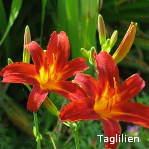 Taglilien, Hemerocallis