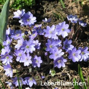 Leberblümchen, Hepatica