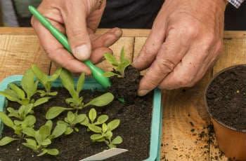 Pflanzen beim Pikieren