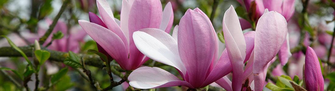 magnolie schneiden pflanzen und pflege von g rtner p tschke. Black Bedroom Furniture Sets. Home Design Ideas