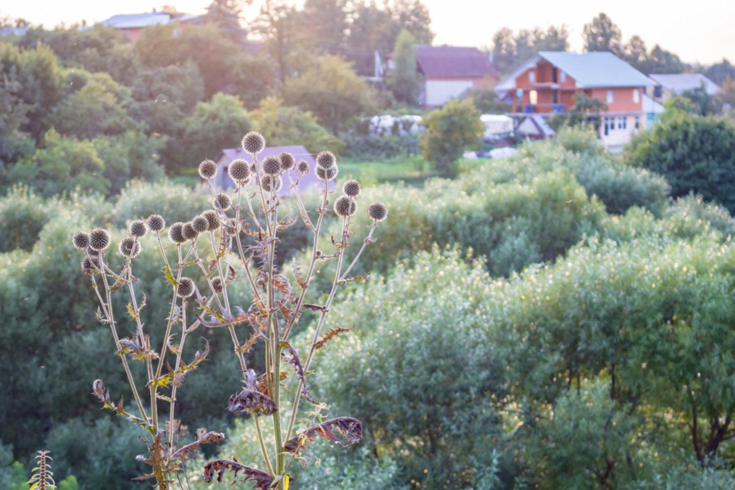 verblühte Kugeldistel Echinops