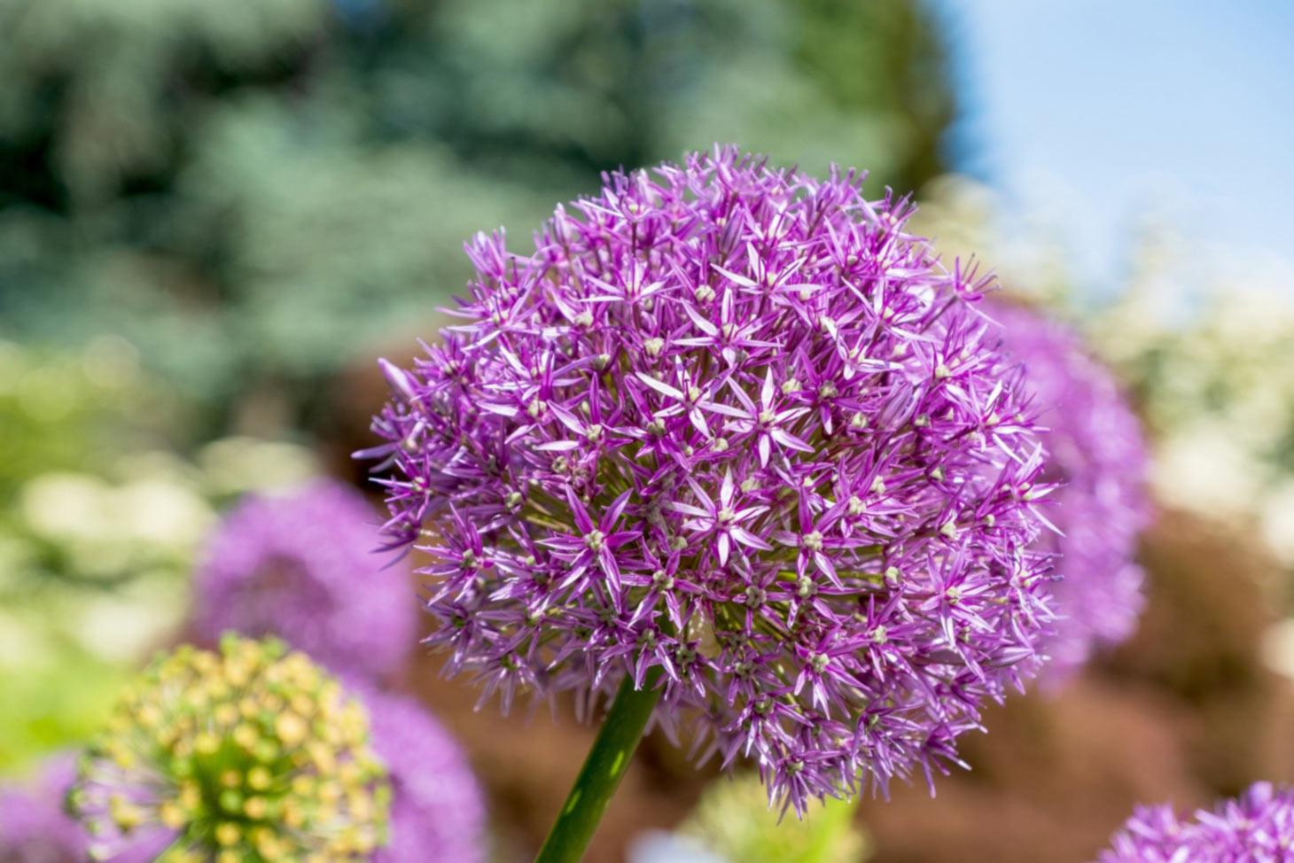 Kugelförmige Blüte Zierlauch