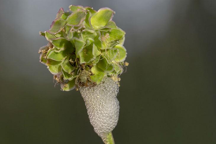 Kuckucksspeichel einer Schaumzikade an einer Wiesenblume