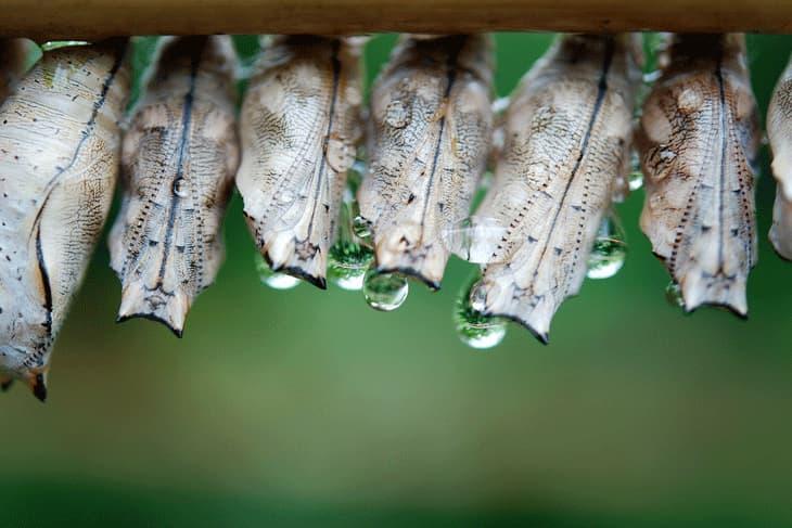 Schmetterlingspuppen
