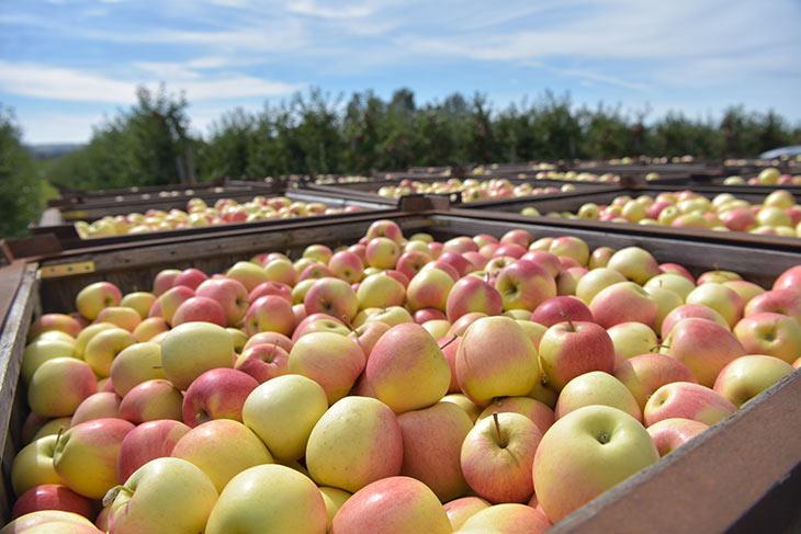 Apfelernte einer Plantage
