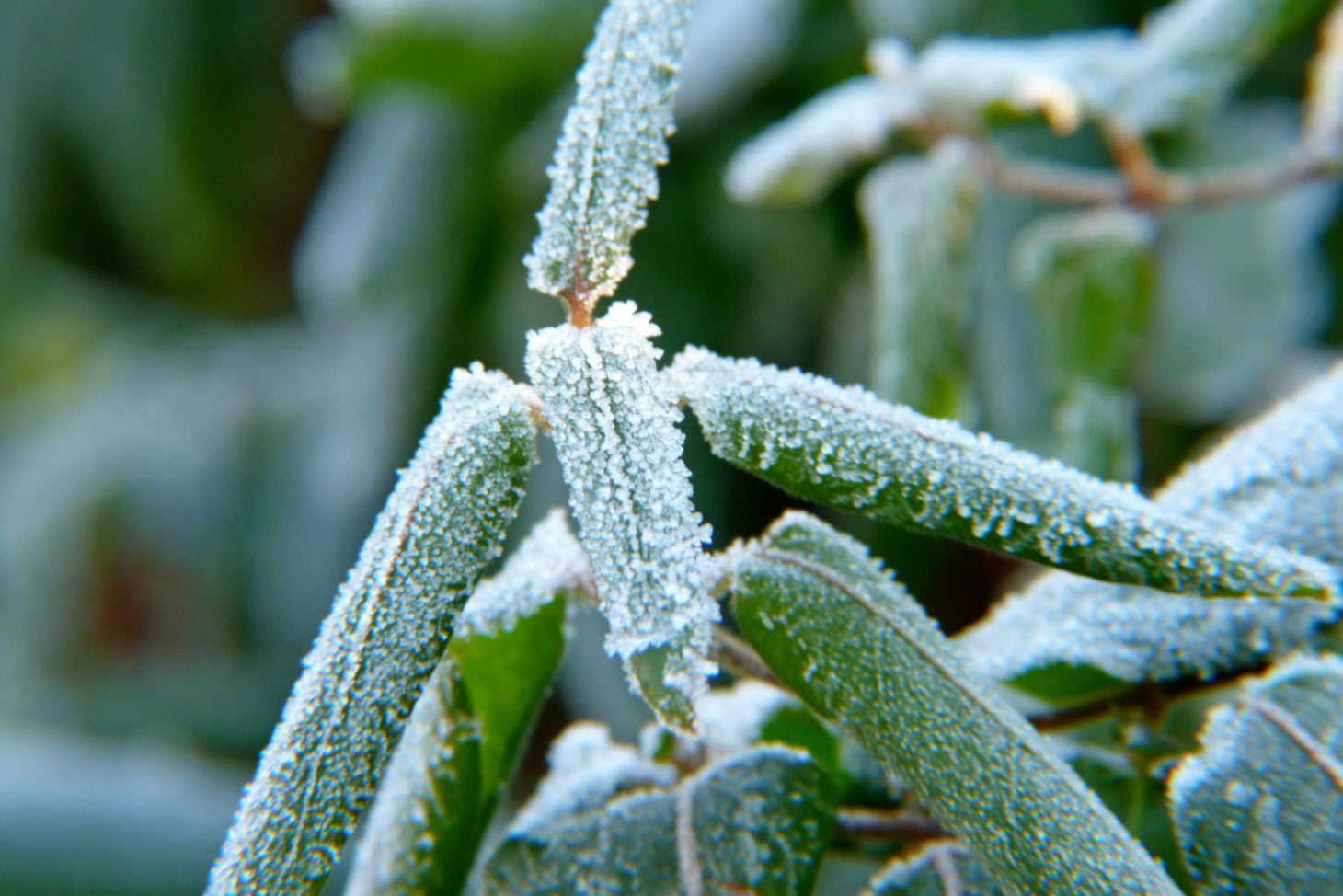 Rhododendron bei Frost