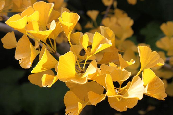 Ginkgo in gelber Herbstfärbung