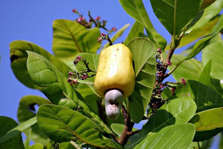 Cashewnuss an Cashewbaum