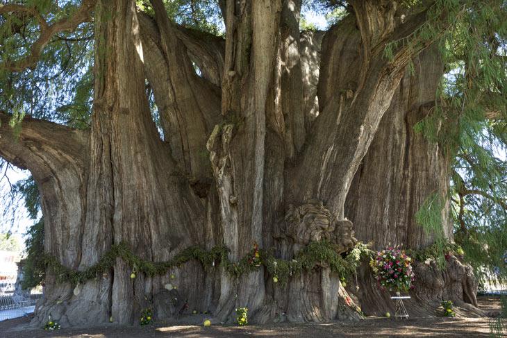 Dickster Baum der Welt