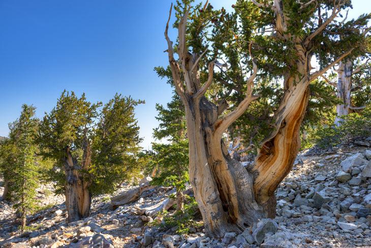 Kiefernhain mit dem ältesten Baum der Welt in den White Mountains