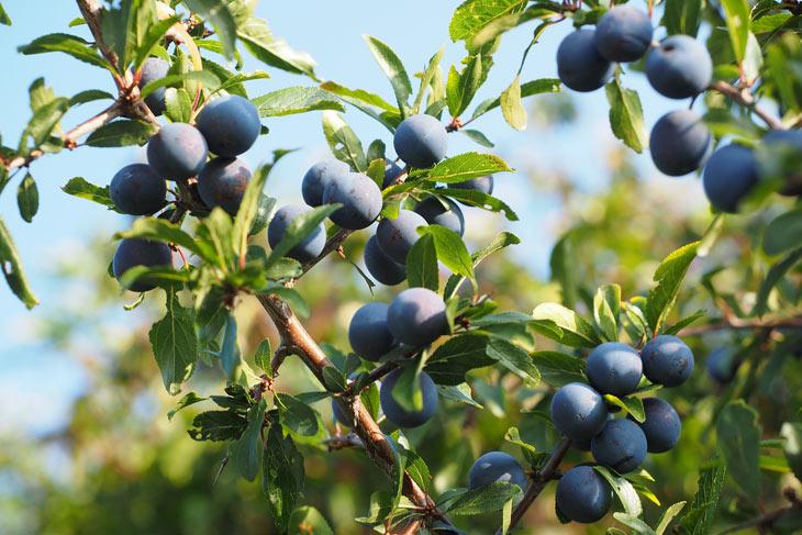 Schlehe Beeren Prunus spinosa