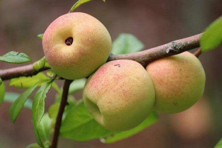 Zierquitten Früchte
