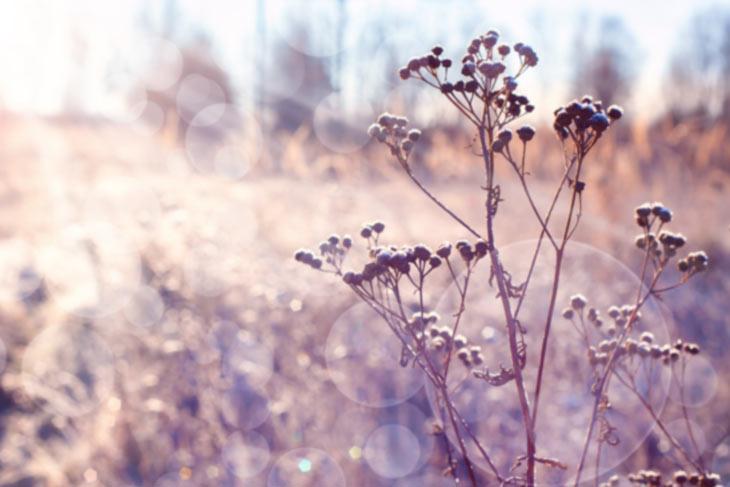 Trockene Blütenstände im Winter