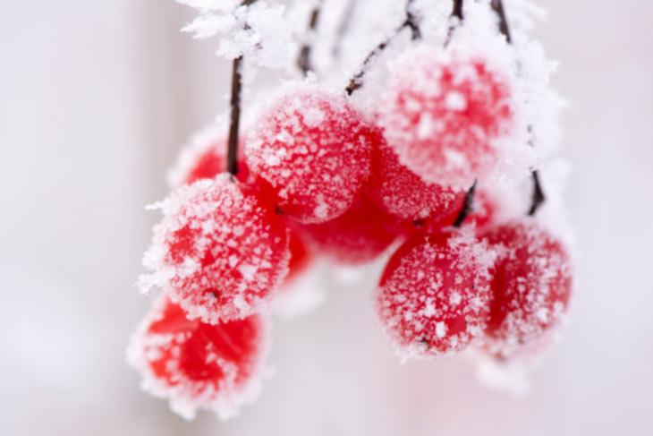 Leuchtend rote Beeren bei Frost