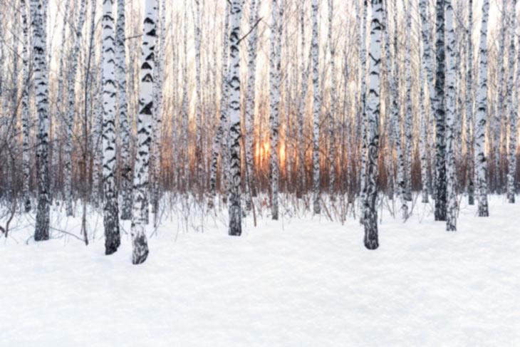 Birken im Schnee