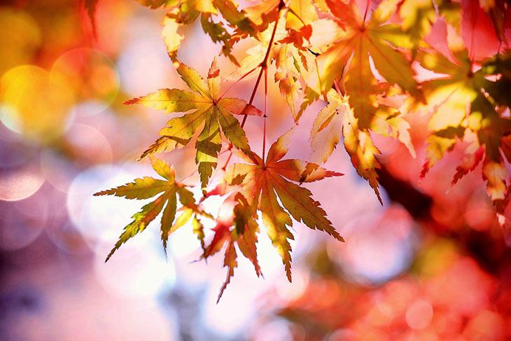 Ahornblätter Herbstfärbung