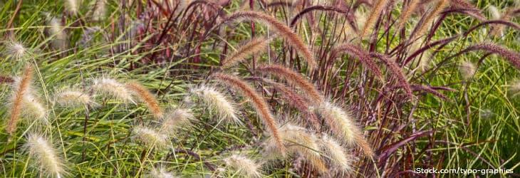Lampenputzergräser