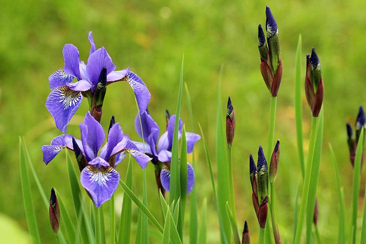 lila Schwertlilie