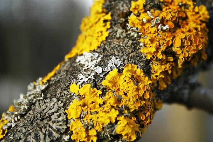 gewöhnliche Gelbflechte auf einem Ast