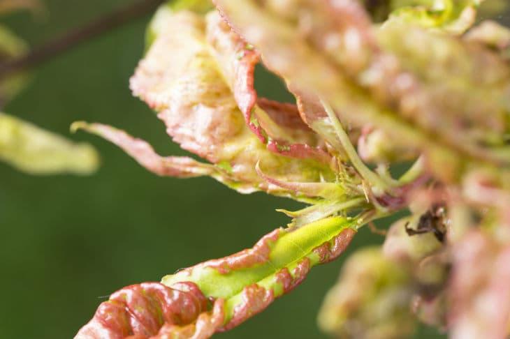 Pfirsichblätter mit Kräuselkrankheit