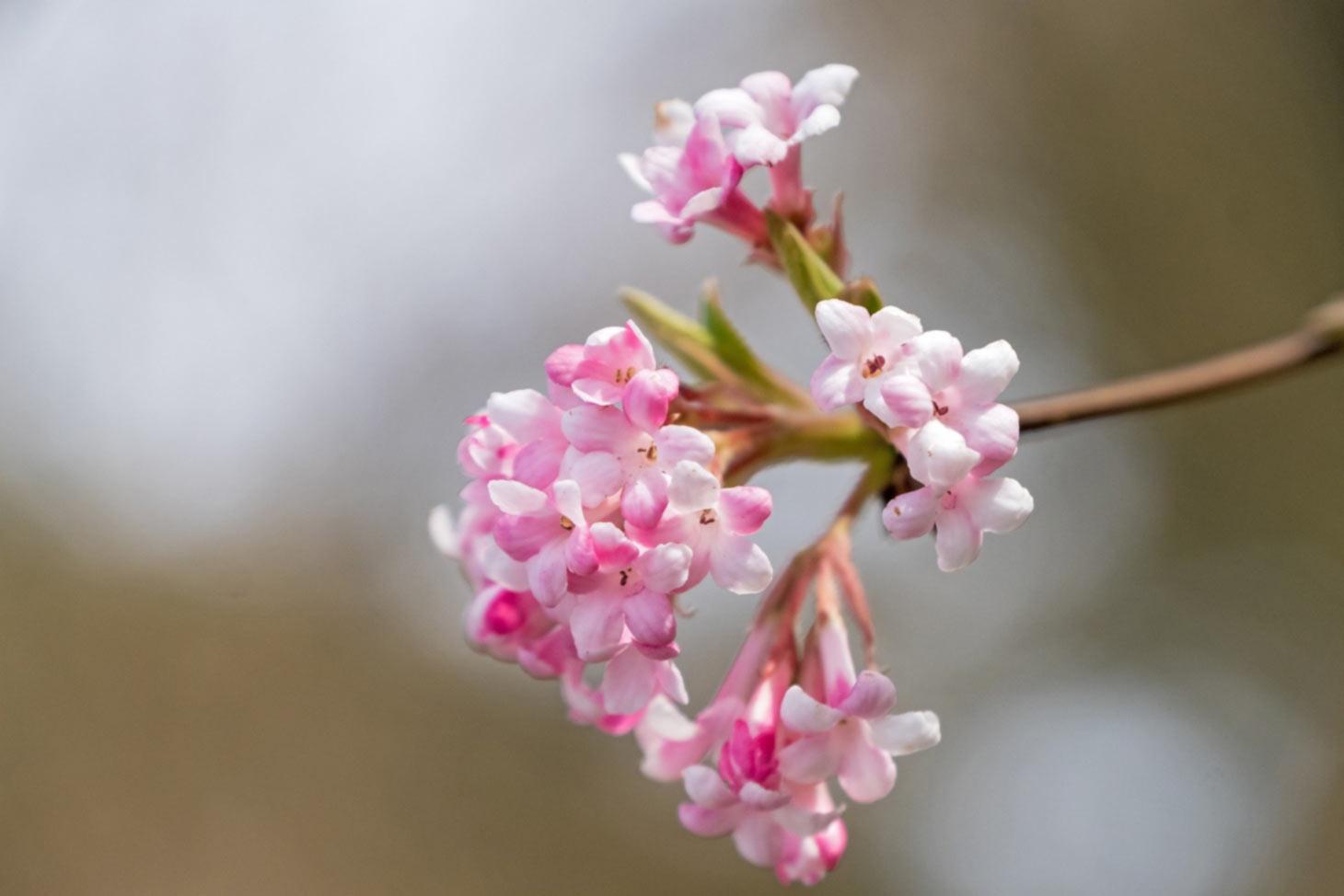 Duftschneeball Blüten