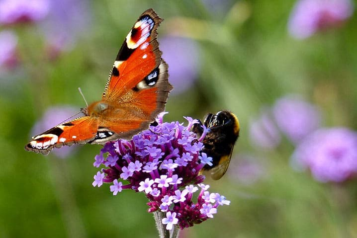 Biene und Schmetterling an Blüte