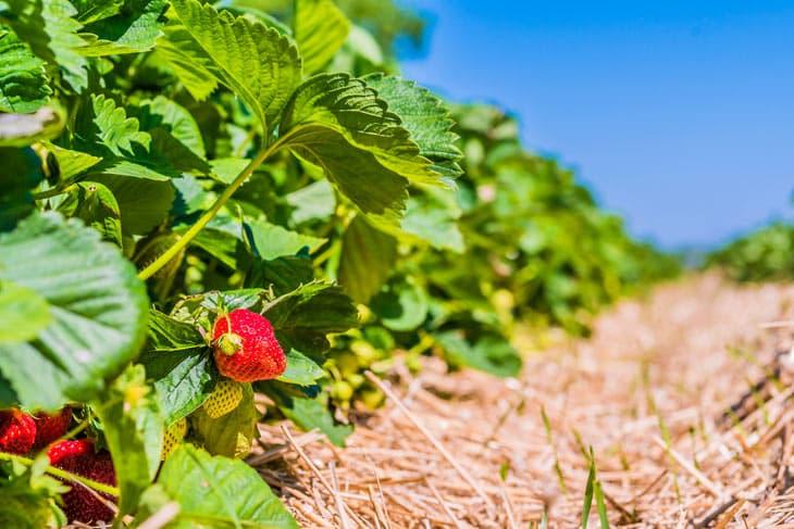 Erdbeerpflanzen in Reihen mit Stroh dazwischen