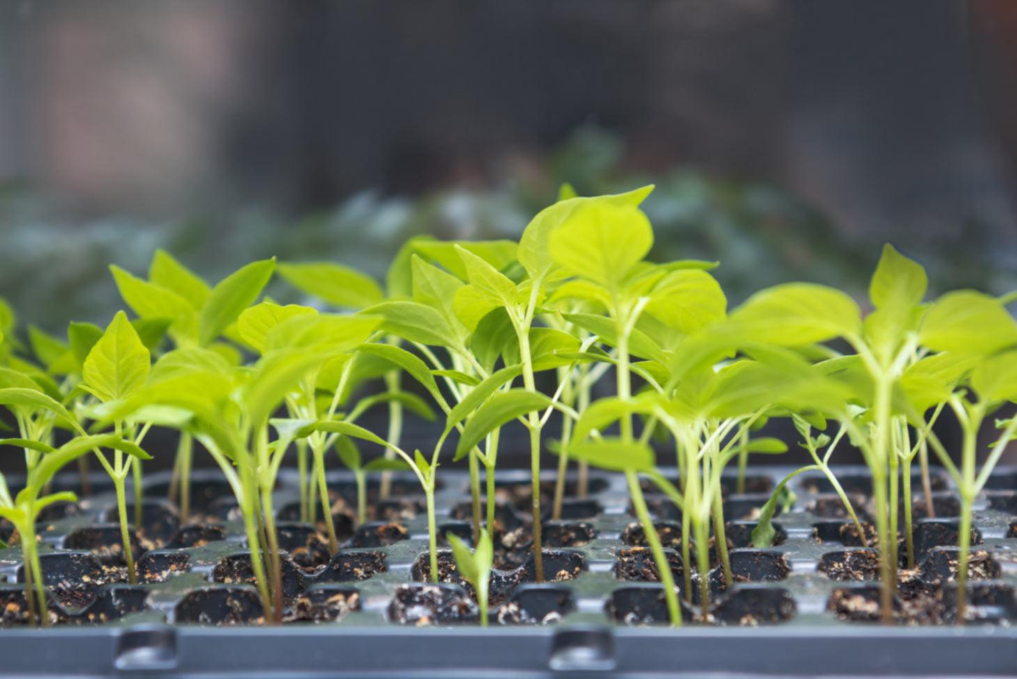 Junge Pflanzen in Topfplatten