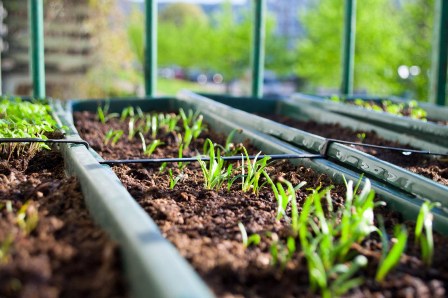 Aussaatschalen mit jungen Pflanzensämlingen