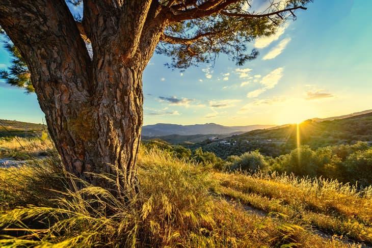 Stamm einer alten Kiefer im Sonnenuntergang