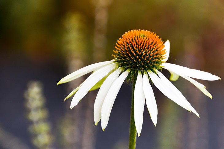 Echinacea weiß