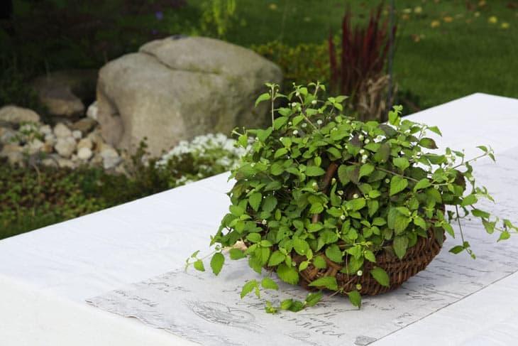 Aztekisches Süßkraut Lippia dulcis