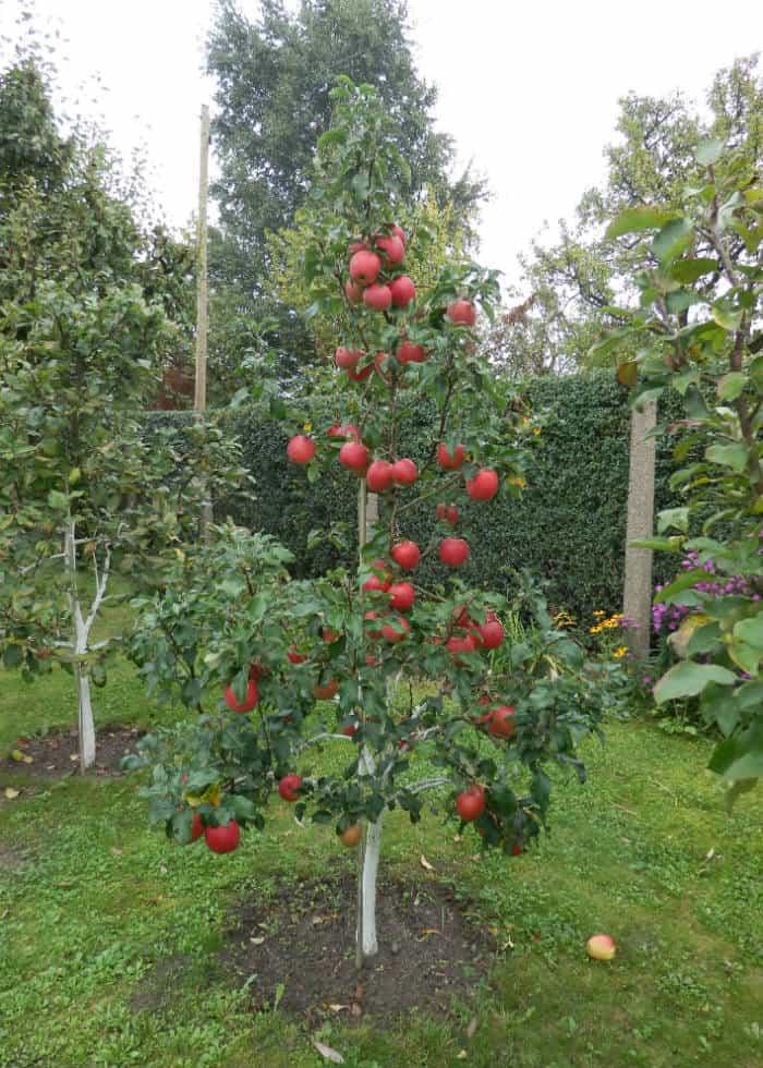 Apfelbaum Halbstamm Pyramidenkrone