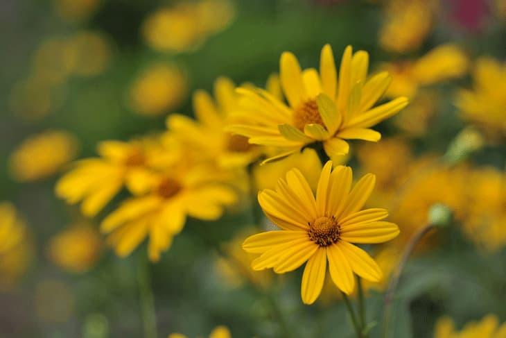 Sonnenauge Blüte Heliopsis