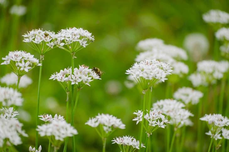 Biene auf Blüten von Wildkraut