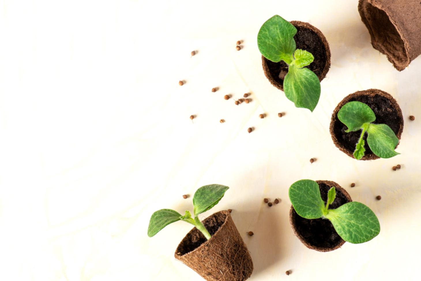 Pflanzen Sämlinge in Anzuchttöpfen