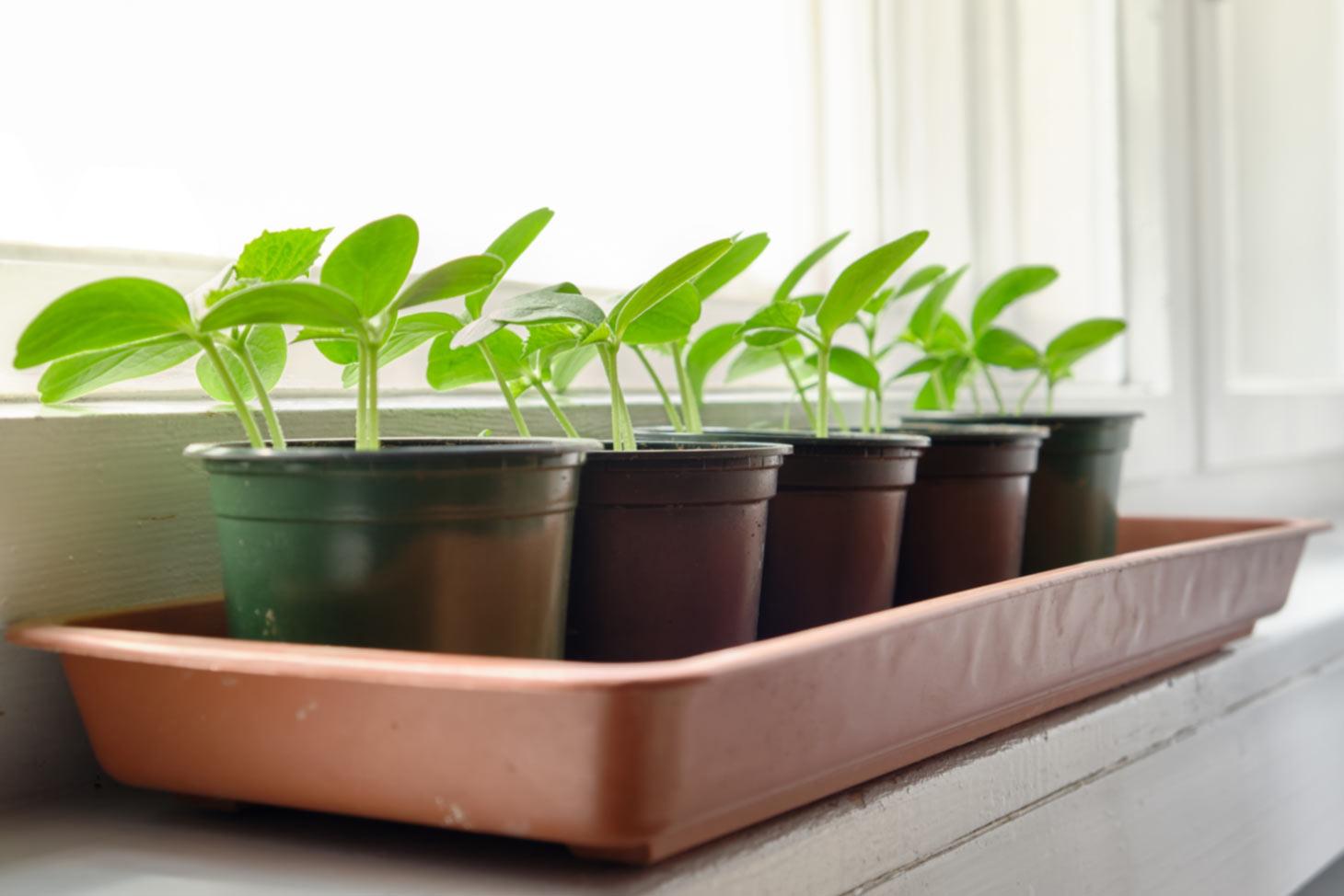 Jungpflanzen auf heller Fensterbank