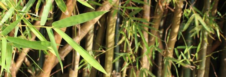 Viele Bambushalme